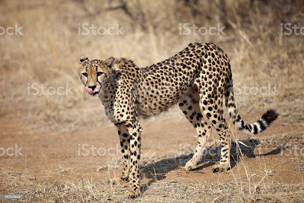 cheetah (Acinonyx jubatus)  south Africa stock photo