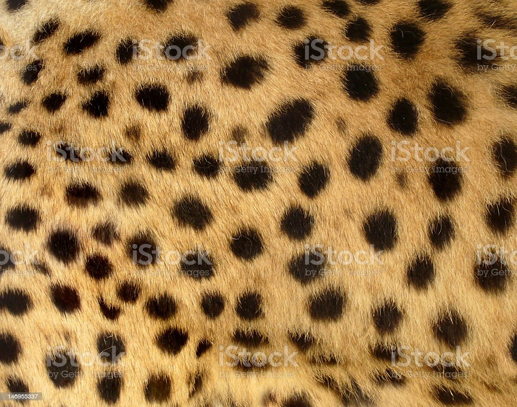 Cheetah Spots stock photo