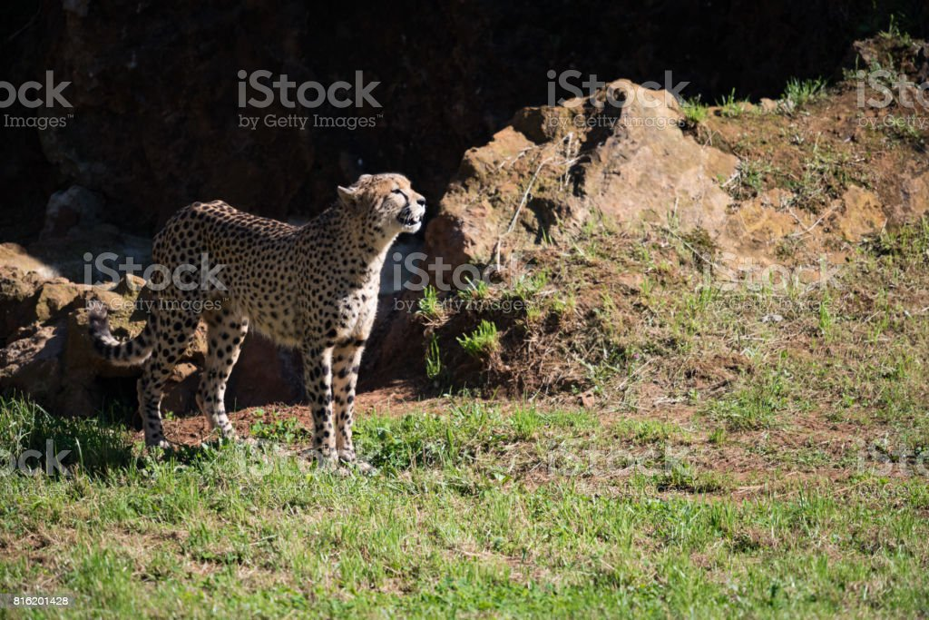 Cheetah stands in field basking in sunshine stock photo