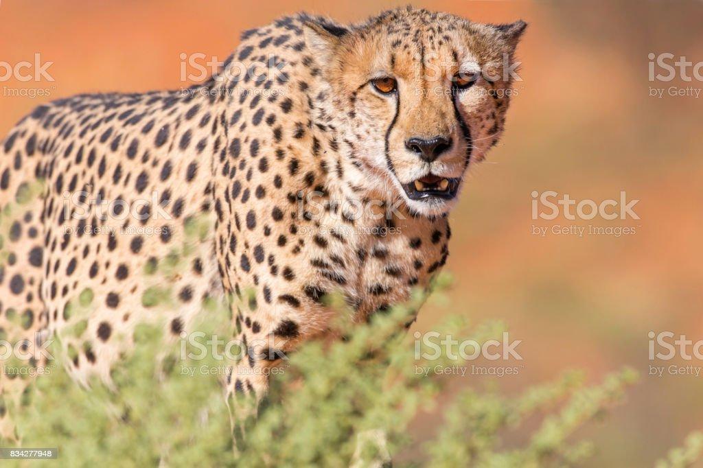 Cheetah Stare stock photo