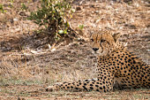 Cheetah starring in the Kruger.
