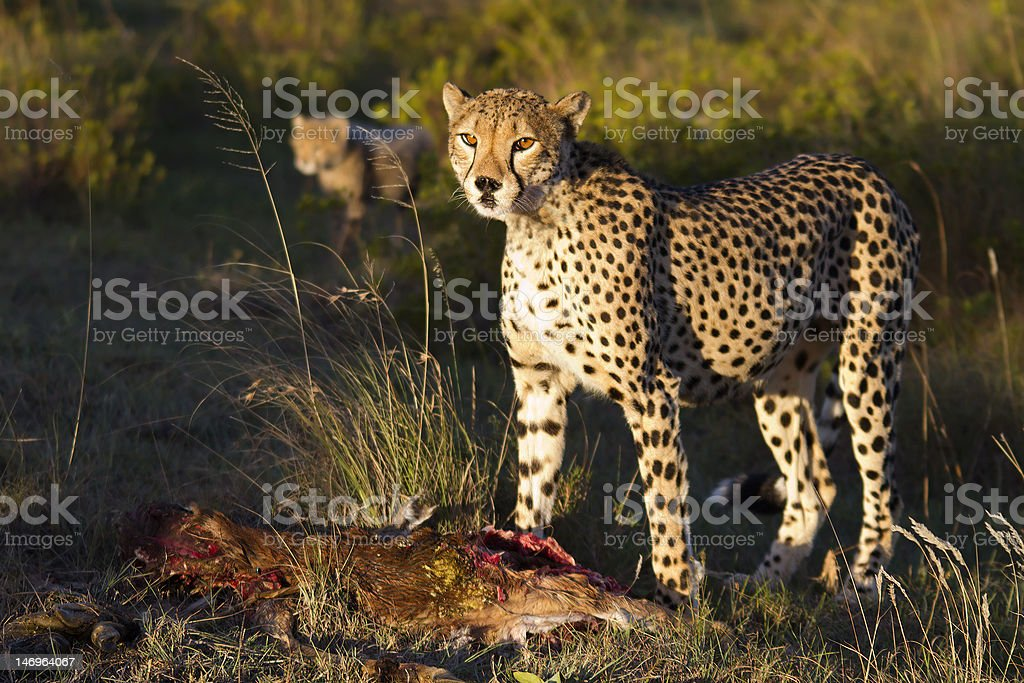 Cheetah stare royalty-free stock photo