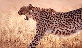 Cheetah stretching