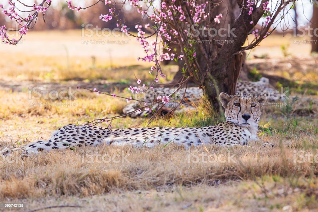 Cheetah under the cherry blossoms stock photo