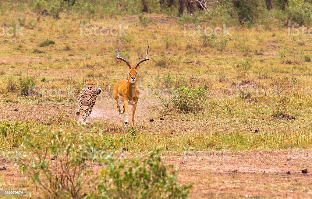 Cheetah. Very fast hunter. Masai Mara, Kenya stock photo