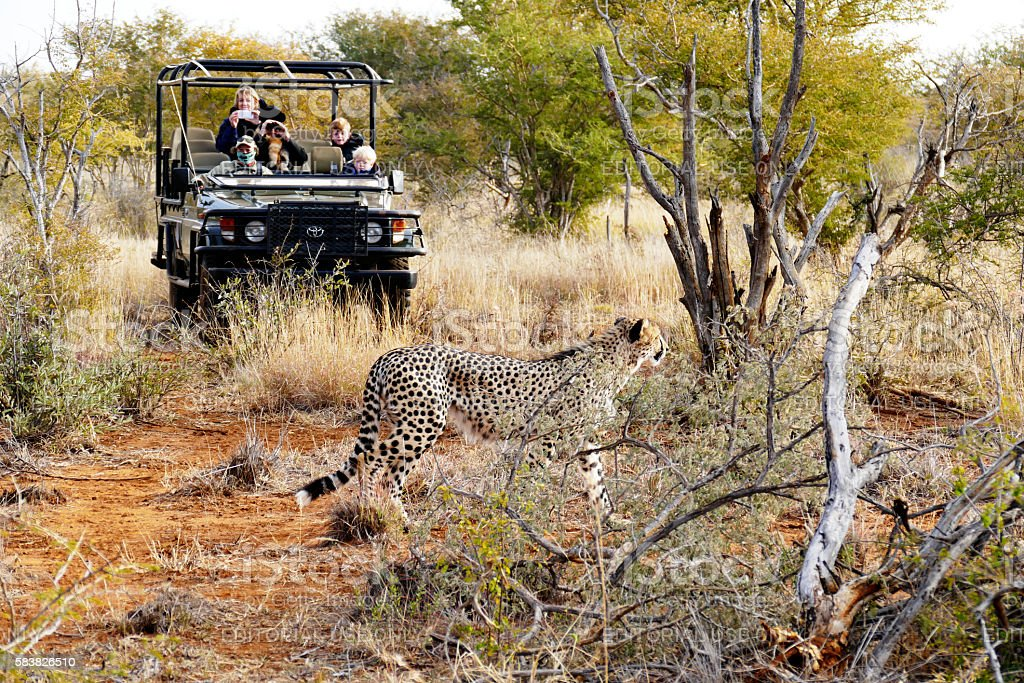 Cheetah walking in front of jeep with tourists,South Africa stock photo