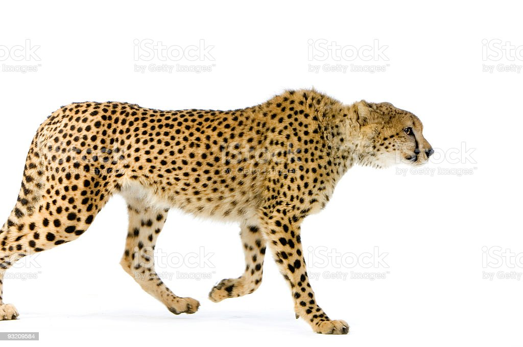 Cheetah Walking stock photo