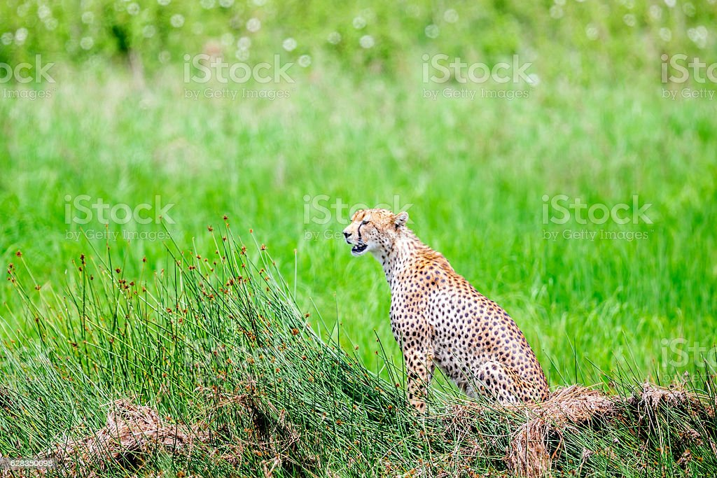 Cheetah Watching at wild stock photo