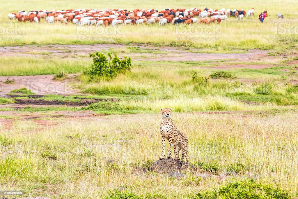 Cheetah Watching with Masai cattle herd stock photo