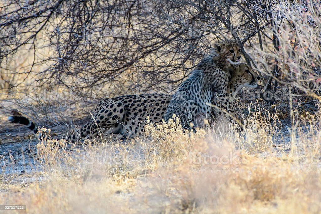 cheetah with cub in the bush stock photo