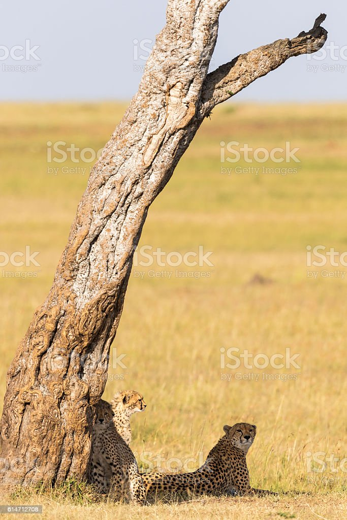 Cheetah with cubs in the shade under a tree on stock photo