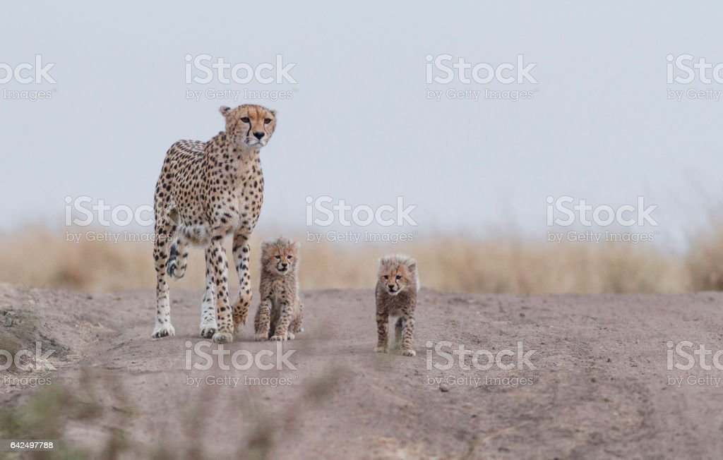 Cheetah with cubs stock photo