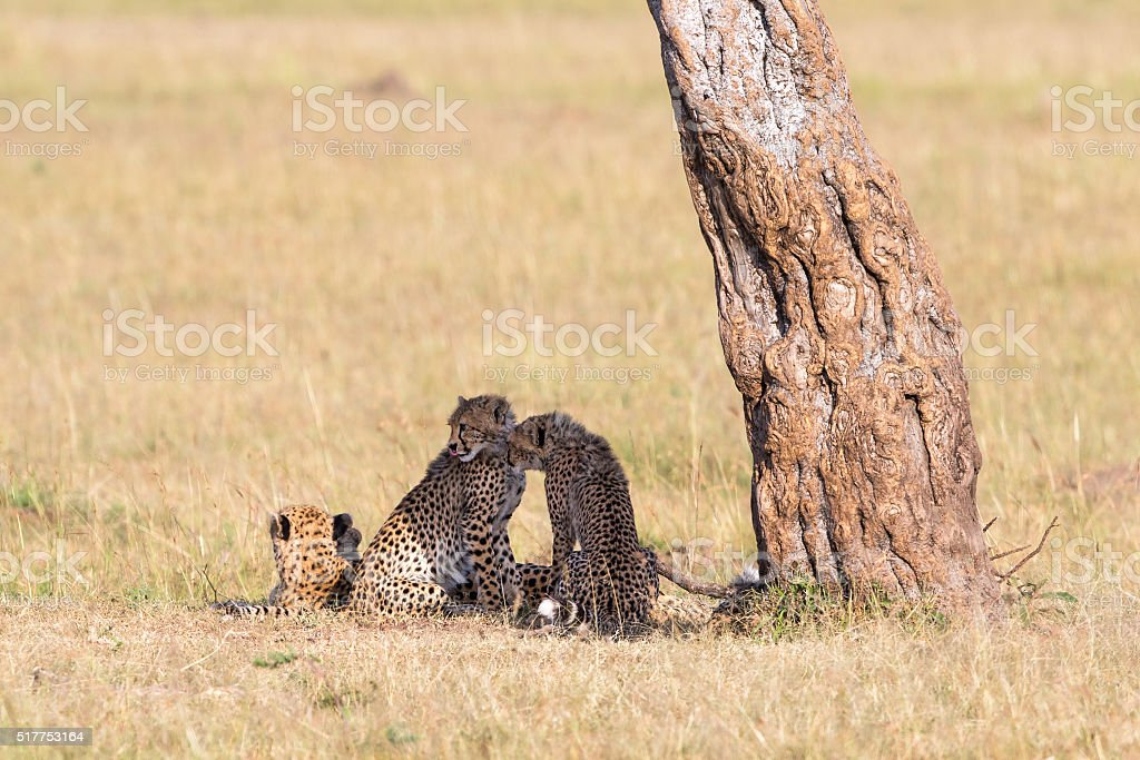 Cheetah with cubs sitting stock photo