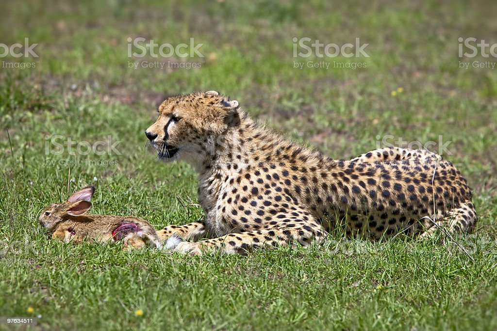 Cheetah With Rabbit royalty-free stock photo