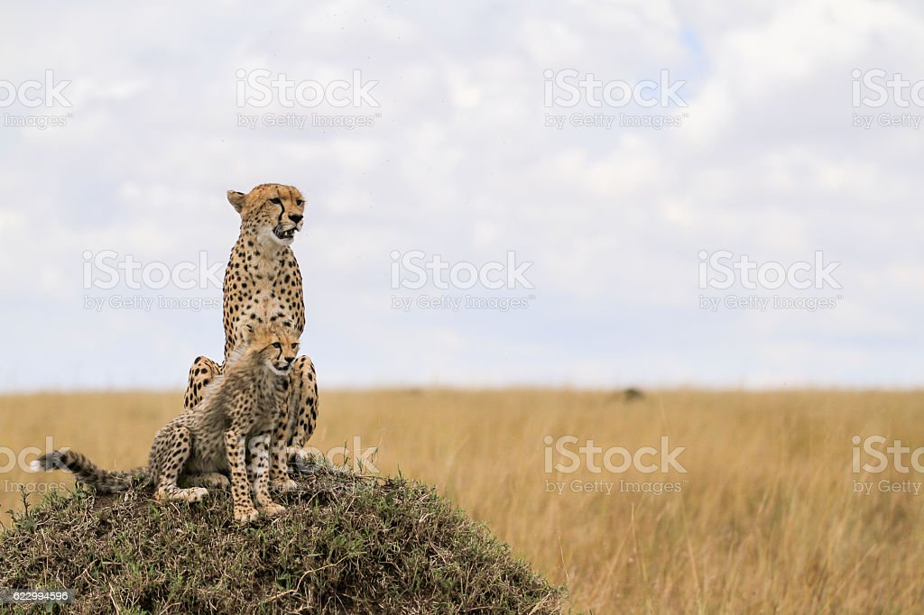 Cheetahs from Maasai Mara stock photo