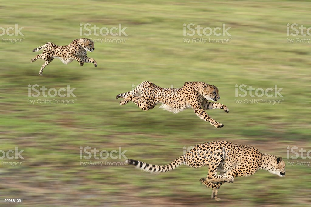 Cheetahs hunting stock photo