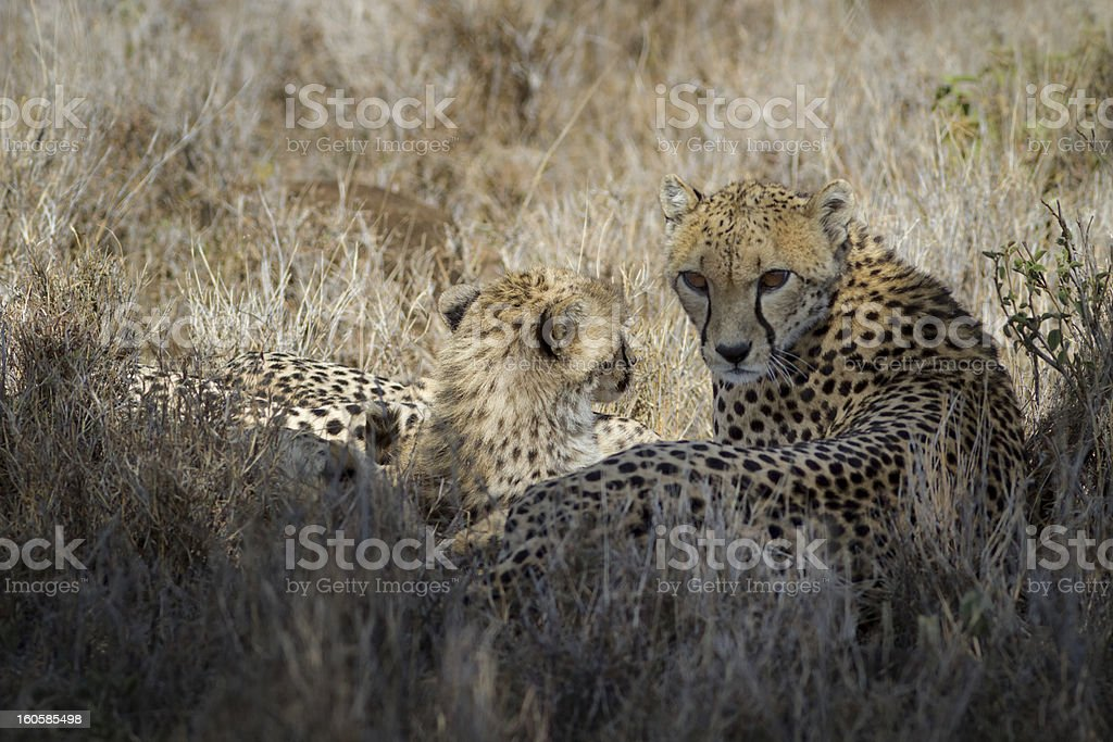 Cheetahs, mother and cub in long grass, Kenya, Africa stock photo