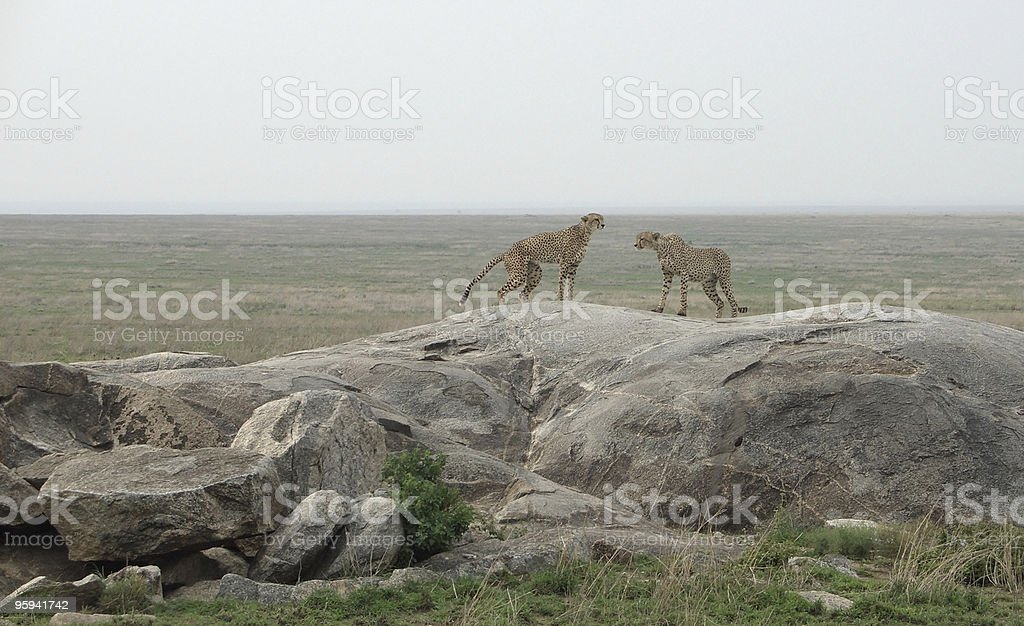 Cheetahs on a stone royalty-free stock photo