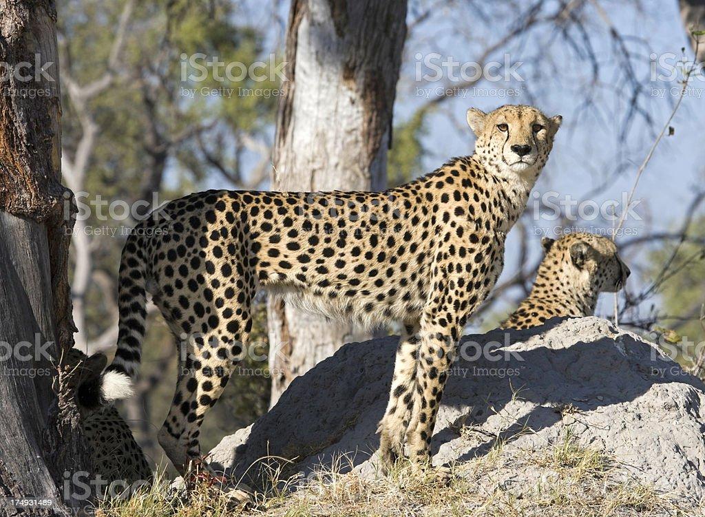 Cheetah's on Termite Mound royalty-free stock photo