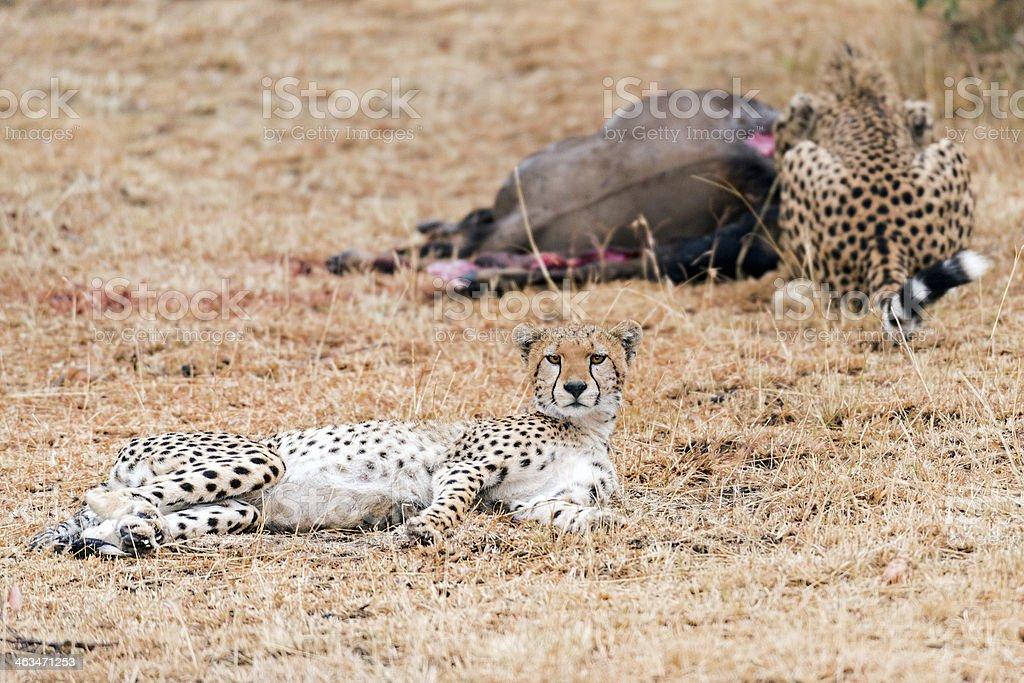 cheetahs royalty-free stock photo