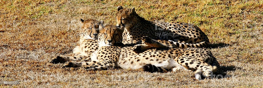 Cheetah's royalty-free stock photo