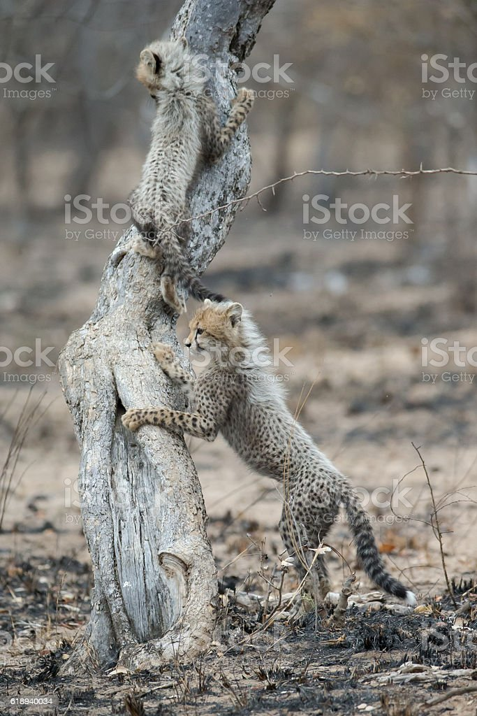 Cheetahs play on tree stock photo