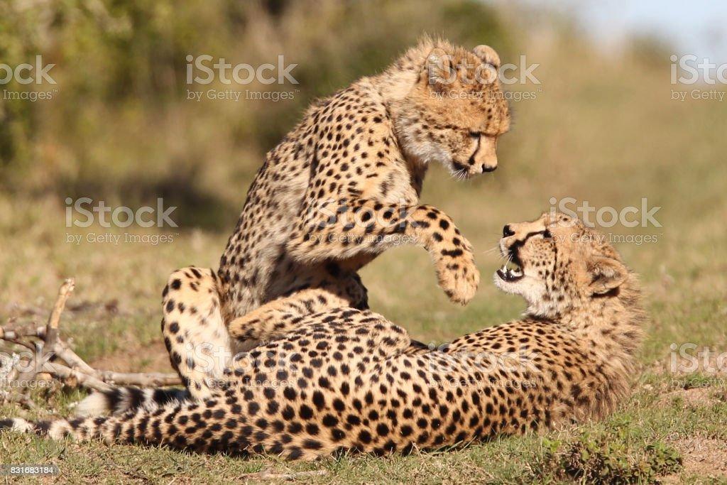 Cheetahs playing stock photo
