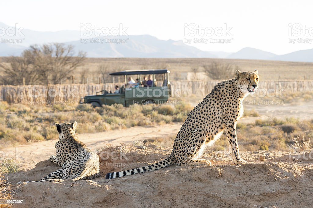 Cheetahs spotted on a game drive stock photo