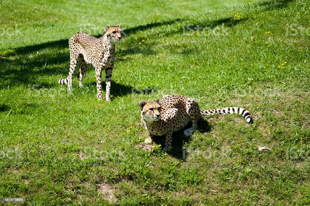 Cheetahs waiting for dinner stock photo