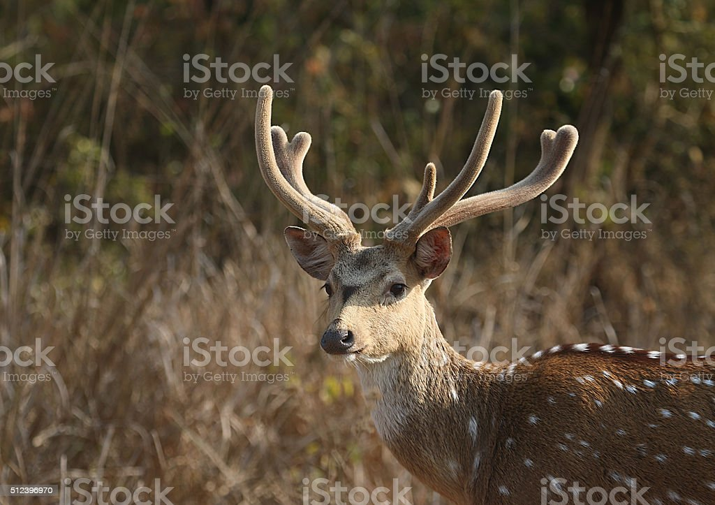 Cheetal - The Indian Spotted Deer stock photo