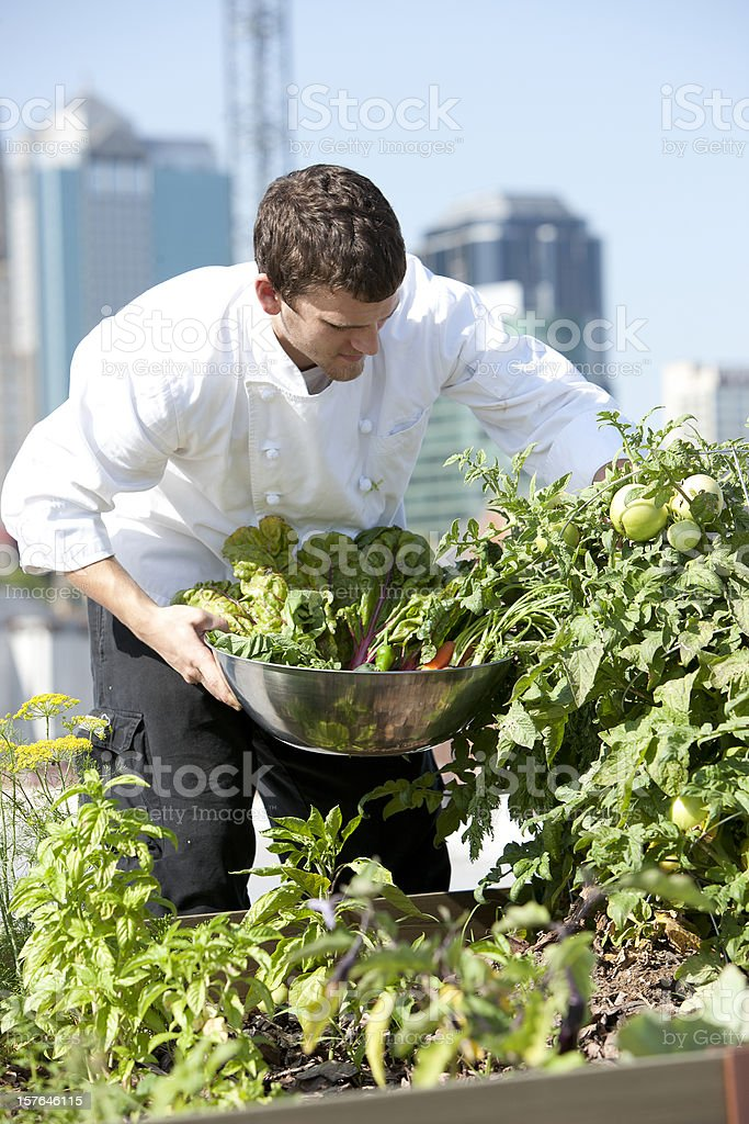 Chef Harvests Homegrown Herbs and Vegetables Urban Restaurant Rooftop Garden royalty-free stock photo