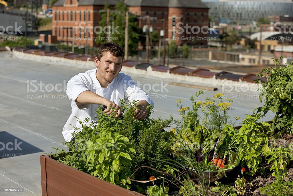 Chef Harvests Homegrown Herbs from Urban Restaurant Rooftop Healthy Eating royalty-free stock photo