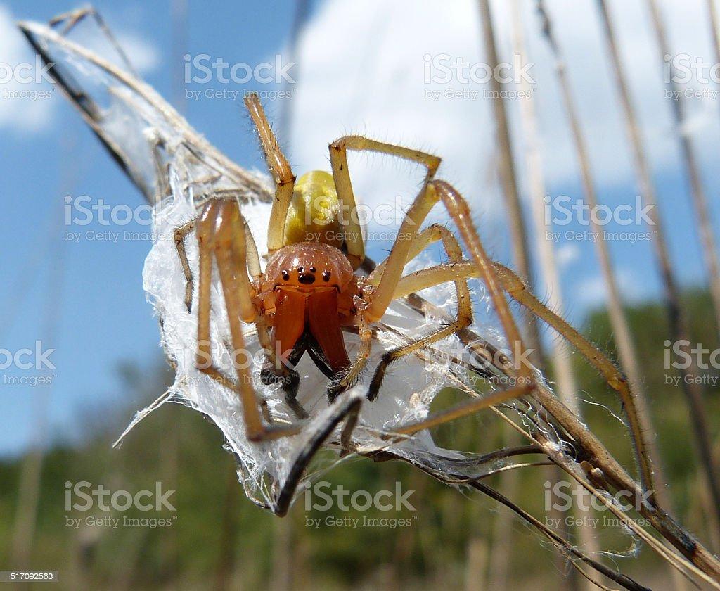 Cheiracanthium punctorium ('Yellow sac Spider') stock photo