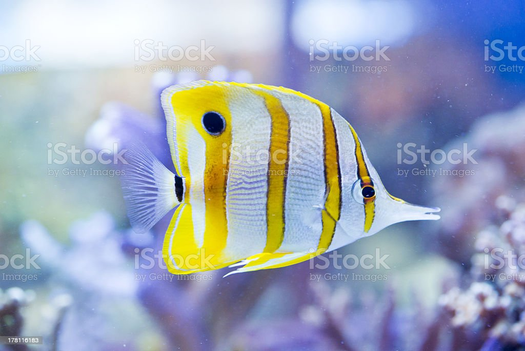 Chelmon rostratus (Copperband Butterflyfish) stock photo