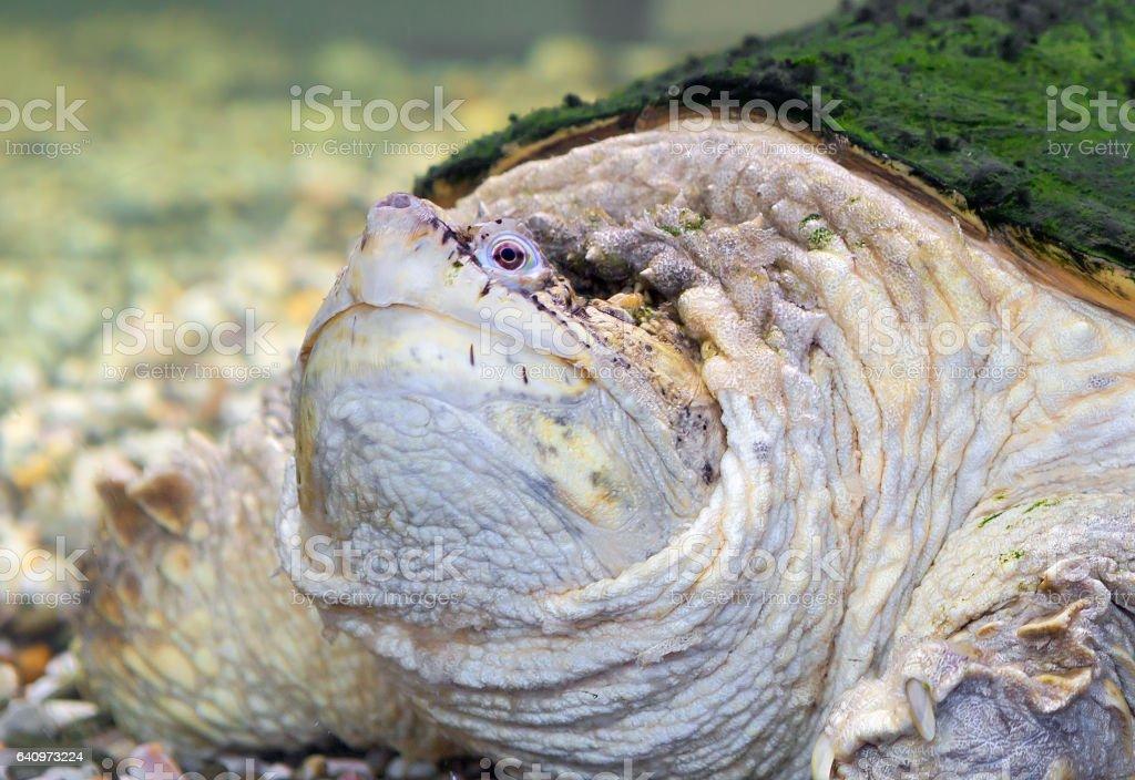 Chelydridae stock photo