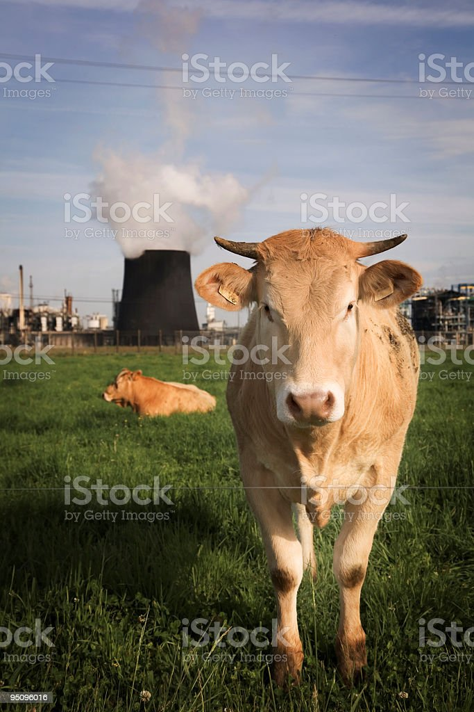 chemical cow royalty-free stock photo