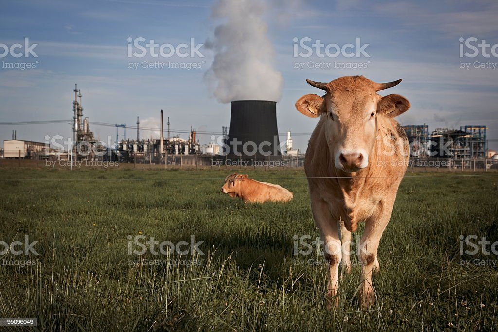 chemical cows stock photo