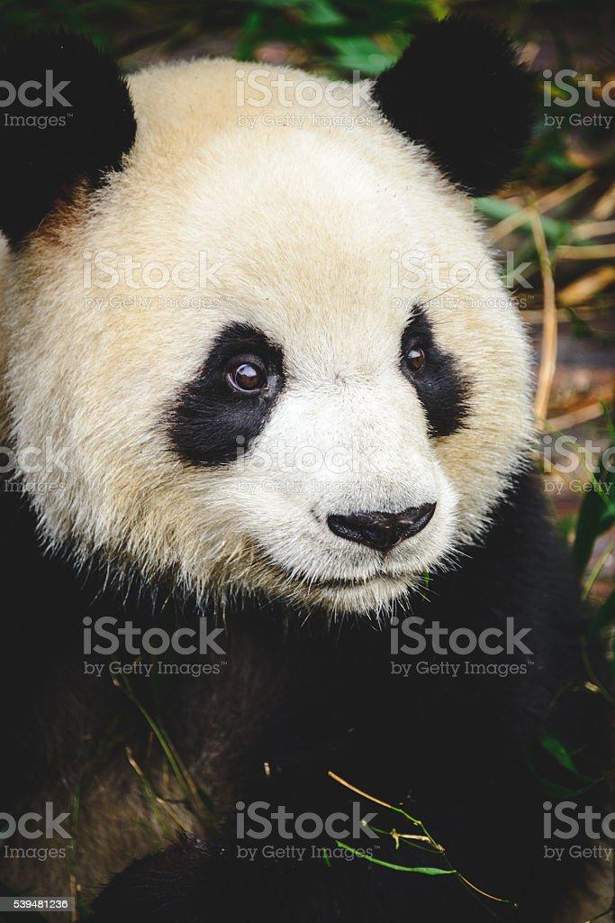 Chengdu Panda Zoo stock photo