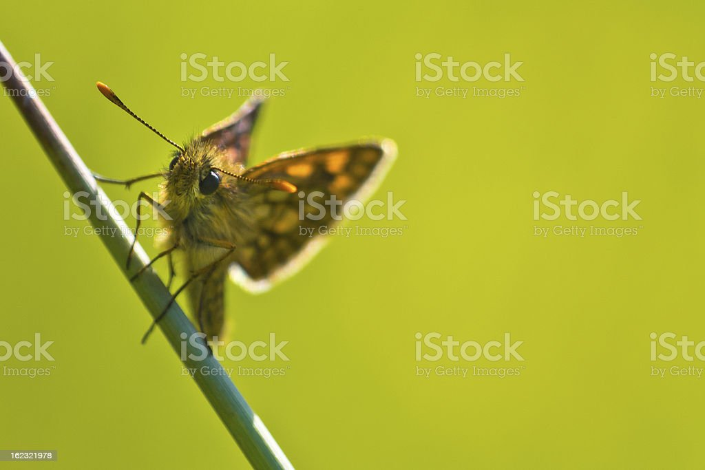 chequered skipper royalty-free stock photo