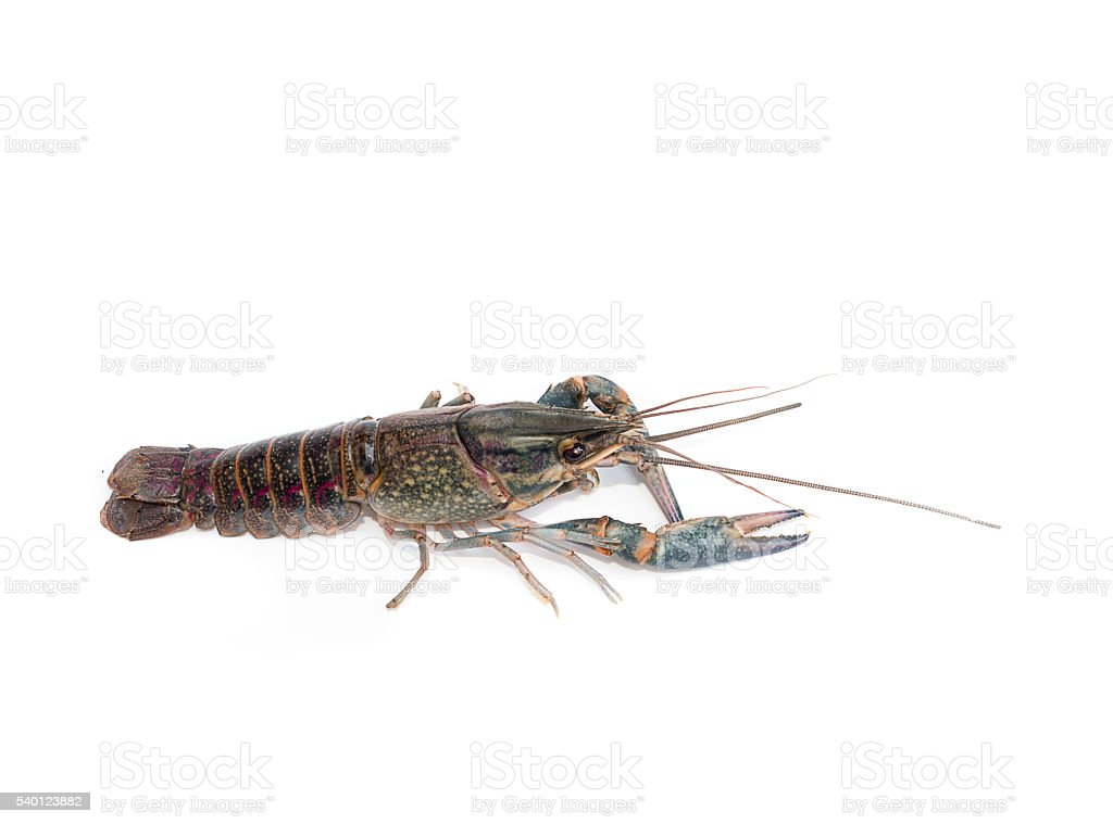 Cherax uadricarinatus  blue crayfish stock photo