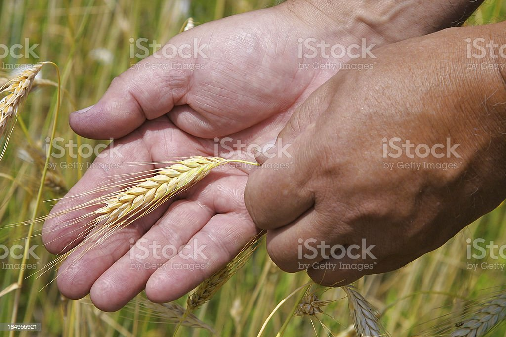 Cherishing Grain VIII royalty-free stock photo