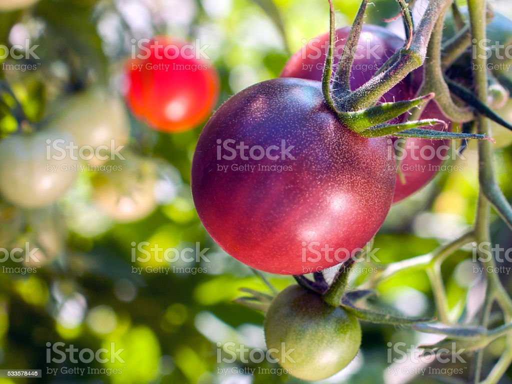 Cherokee Purple cherry tomatos on vine stock photo