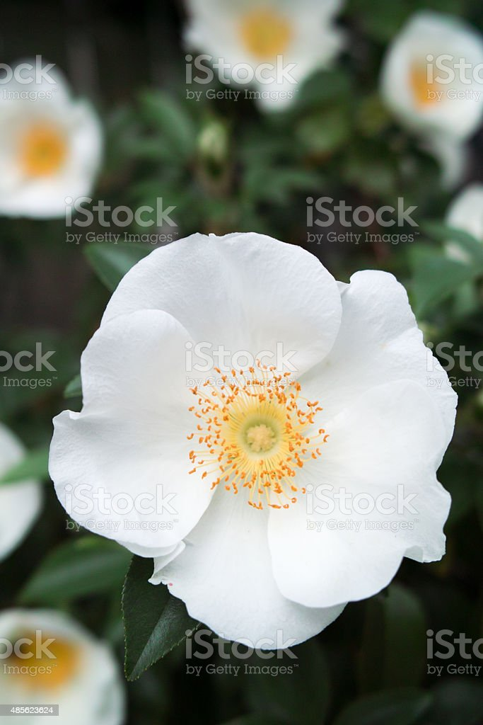 Cherokee Rose stock photo