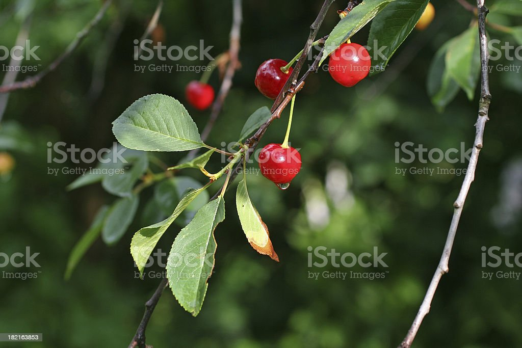 Cherries after  rain royalty-free stock photo