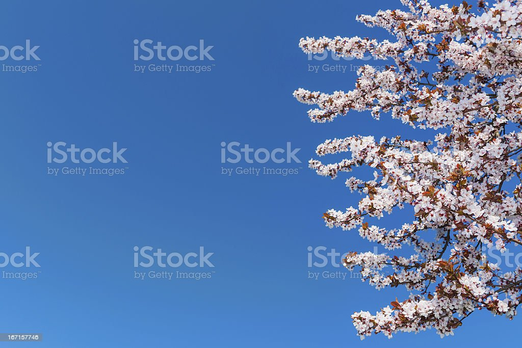 Cherries Blossoms royalty-free stock photo