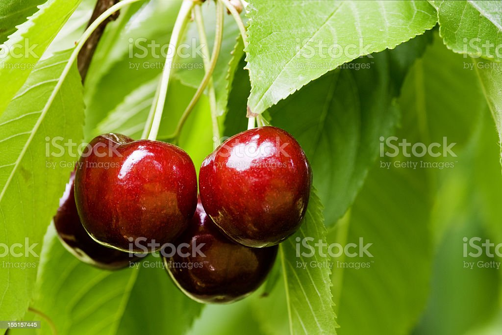 Cherries close-up with stems and leaves stock photo