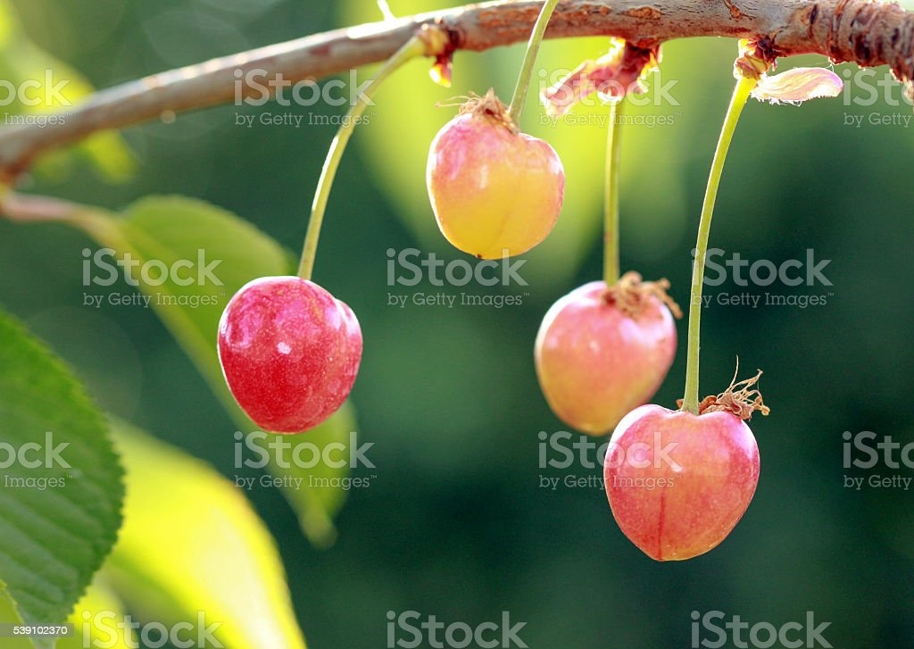 cherries on a branch just after sunrise stock photo