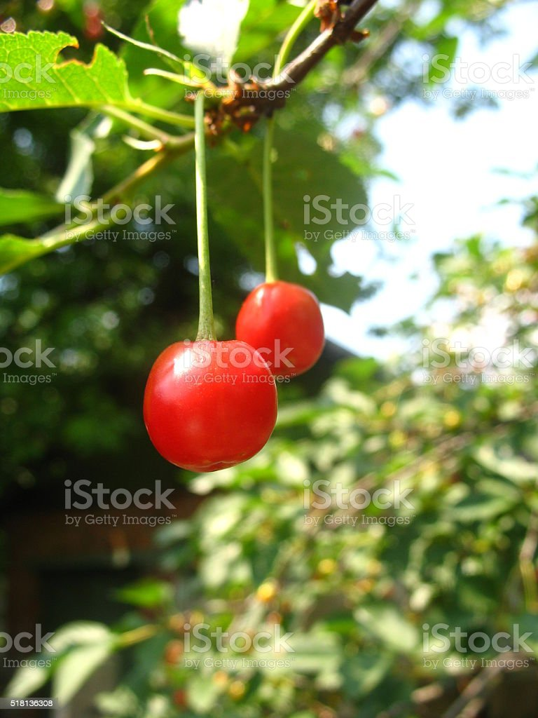 cherries on a branch stock photo