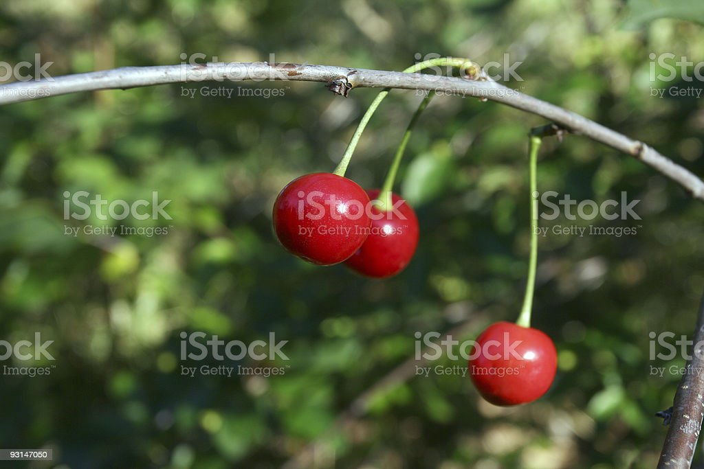 Cherries on a branch royalty-free stock photo