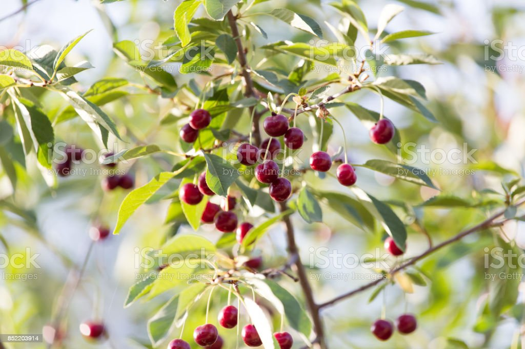 cherries on a tree branch stock photo